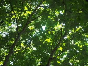 朴の木の木漏れ日