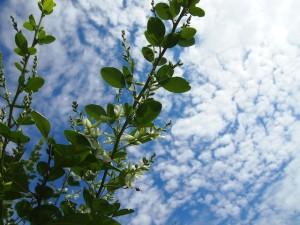 白萩とうろこ雲