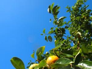 色付きはじめた柿の実