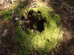 山の中で朽ちた木の根元に密生した苔